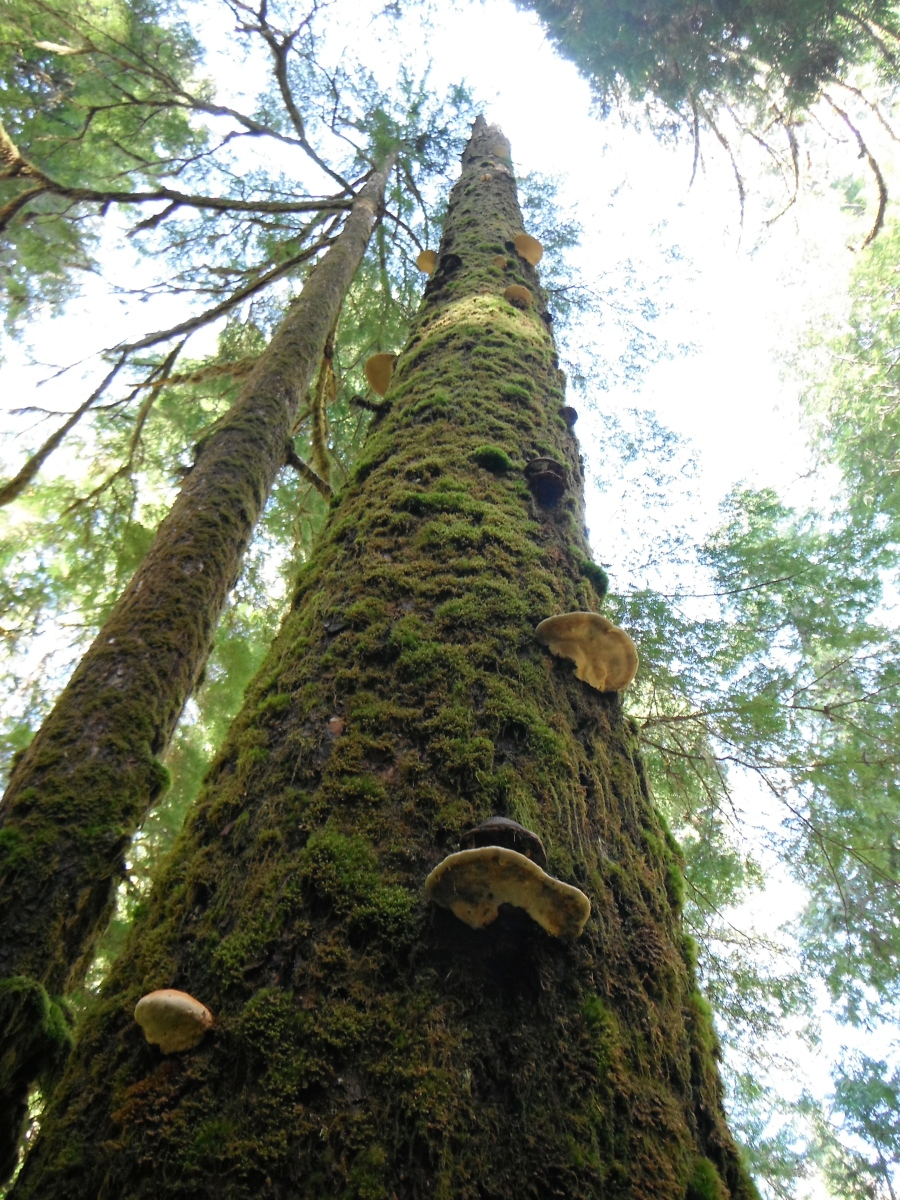 Red Belts and Artist Conks on an old growth Doug Fir snag beautiful...