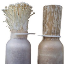 cultivated Enoki