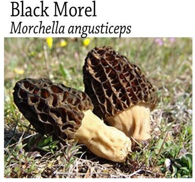 Black Morel Tag