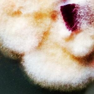 Ophiliocordyceps sinensis mycelium (Caterpillar Fungus)