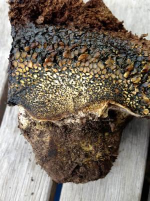 Pitholithus tinctorus, an excellent mushroom for Ecological Restoration